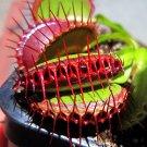 CARNIVOROUS - Venus Flytrap - Dionaea muscipula - 'Purple Ambush'