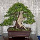 BONSAI - English Yew