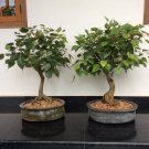 BONSAI - Bodhi Tree