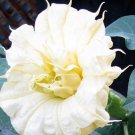 Golden Queen Double - Datura