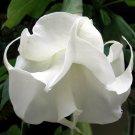 Double White - Datura