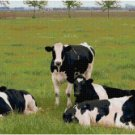 HOLSTEIN COW GROUP CROSS STITCH PATTERN PDF ONLY