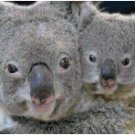 KOALA BEAR AND BABY #1 CROSS STITCH PATTERN PDF ONLY