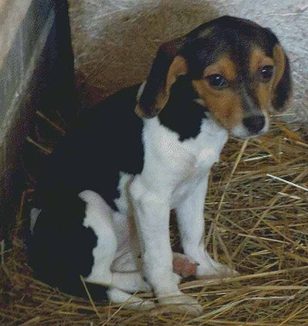Beagle Puppy Counted Cross Stitch - Aida 14 Count