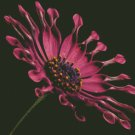 African Daisy Flower Counted Cross Stitch - Aida 14 Count