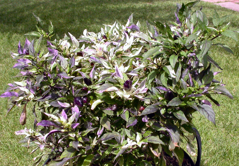 Purple Flash Chilli Seeds