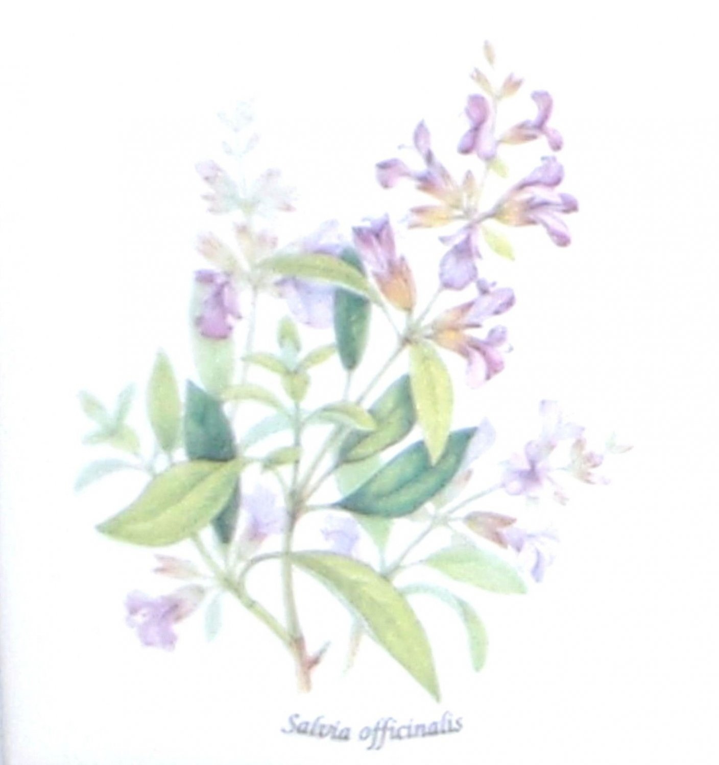 "Lavender Salvia Officinalis Ceramic Tile 4.25"" Herb Collection Kiln Fired Decor"