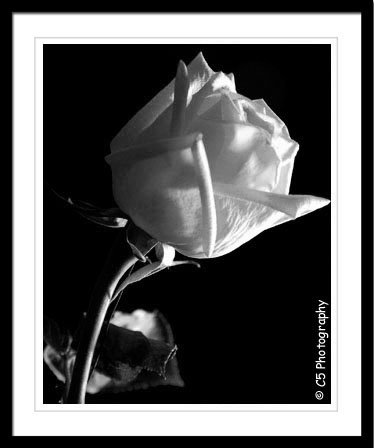 Rose (Flower 001) Black and White - 8 x 10 Matted Photograph