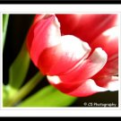 Tulip (Flower 25a) - 8 x 10 Matted Photograph