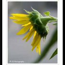 Yellow Sunflower 38b - 8 x 10 matted photo