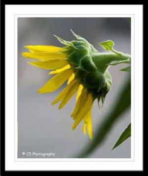Yellow Sunflower 38b - 8 x 10 matted photo