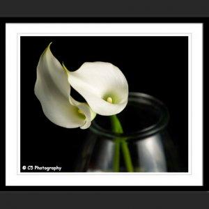 White Calla Lilies 43a - 8x10 Matted Photograph