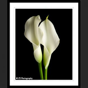 White Calla Lilies 43b - 8x10 Matted Photograph