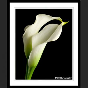 White Calla Lilies 43d - 8x10 Matted Photograph