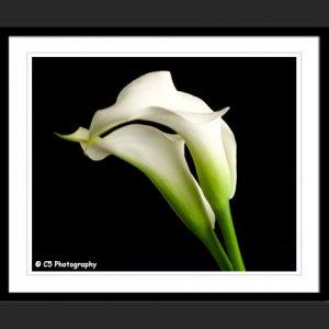 White Calla Lilies 43e - 8x10 Matted Photograph