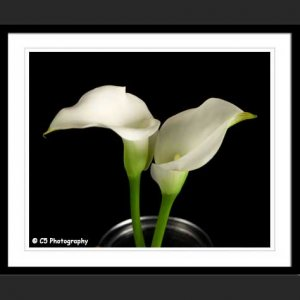 White Calla Lilies 43j - 8x10 Matted Photograph