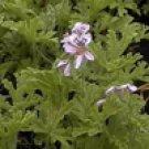 Geranium Bourbon (Pelargoneum graveolens)