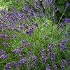 Lavender Population (Lavandula angustifolia)