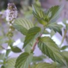 Peppermint Arvensis (Mentha arvensis)