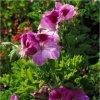 Rose Geranium (Pelargoneum roseum)