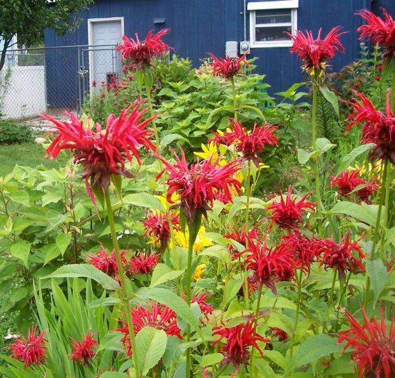 Jacob Cline Bee Balm ( Monarda didyma ) - 1 live plant division ~gemsandstems.info~