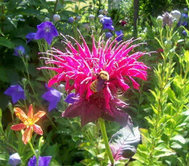 Raspberry Wine Bee Balm ( Monarda didyma ) - 1 live plant division ~gemsandstems.info~