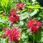 Gardenview Scarlet Bee Balm ( Monarda d x fistulosa ) - 1 live plant division ~gemsandstems.info~