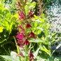 Ruby Slippers ( Lobelia x ) - 1 live plant  ~gemsandstems.info~