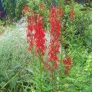 Cardinal Flower ( Lobelia cardinalis ) - 30 seeds ~gemsandstems.info~