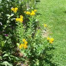 Butterfly Weed ( Asclepias tuberosa ) - 30 seeds ~gemsandstems.info~