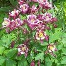 Dwarf Biedermeier Columbine ( Aquilegia ) - 15 seeds ~gemsandstems.info~