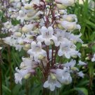 Husker Red Beardtongue ( Penstemon digitalis ) - 30 seeds ~gemsandstems.info~