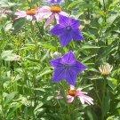 Mariesii Balloon Flower (Platycodon grandiflorus) - 15 seeds ~gemsandstems.info~