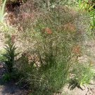 Bronze Fennel ( Foeniculum vulgare )  - 30 seeds ~gemsandstems.info~