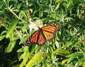 White Profusion Butterfly Bush ( Buddleja davidii )  - 15 seeds ~gemsandstems.info~