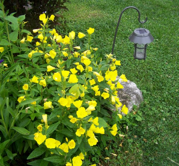 Live plant missouri primrose long blooming ebay for Plants that live long