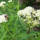 ICE BALLET Milkweed ( Asclepias incarnata ) - 30 seeds ~gemsandstems.info~