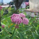 SOUL MATE Milkweed ( Asclepias incarnata ) - 30 seeds ~gemsandstems.info~