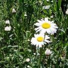Shasta Daisy ALASKA ( Luecanthemum superbum ) - 30 seeds ~gemsandstems.info~