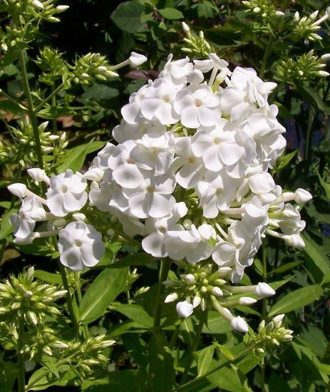 how to grow phlox from seed