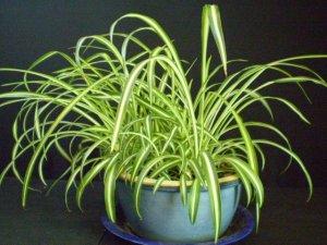 Vittatum Spider Plant ( Chlorophytum comosum ) - 1 live plant  ~gemsandstems.info~