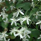 Sweet Autumn Clematis ( terniflora ) - 15 seeds  ~gemsandstems.info~