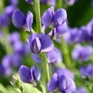 Wild Indigo Blue ( Baptisia australis ) - 15 seeds ~gemsandstems.info~