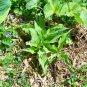BRIDAL VEIL ( Hosta ) - 1 live plant division ~gemsandstems.info~