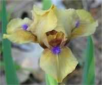 Aladdin's Flame Dwarf Bearded ( Iris ) - 1 plant division ~gemsandstems.info~