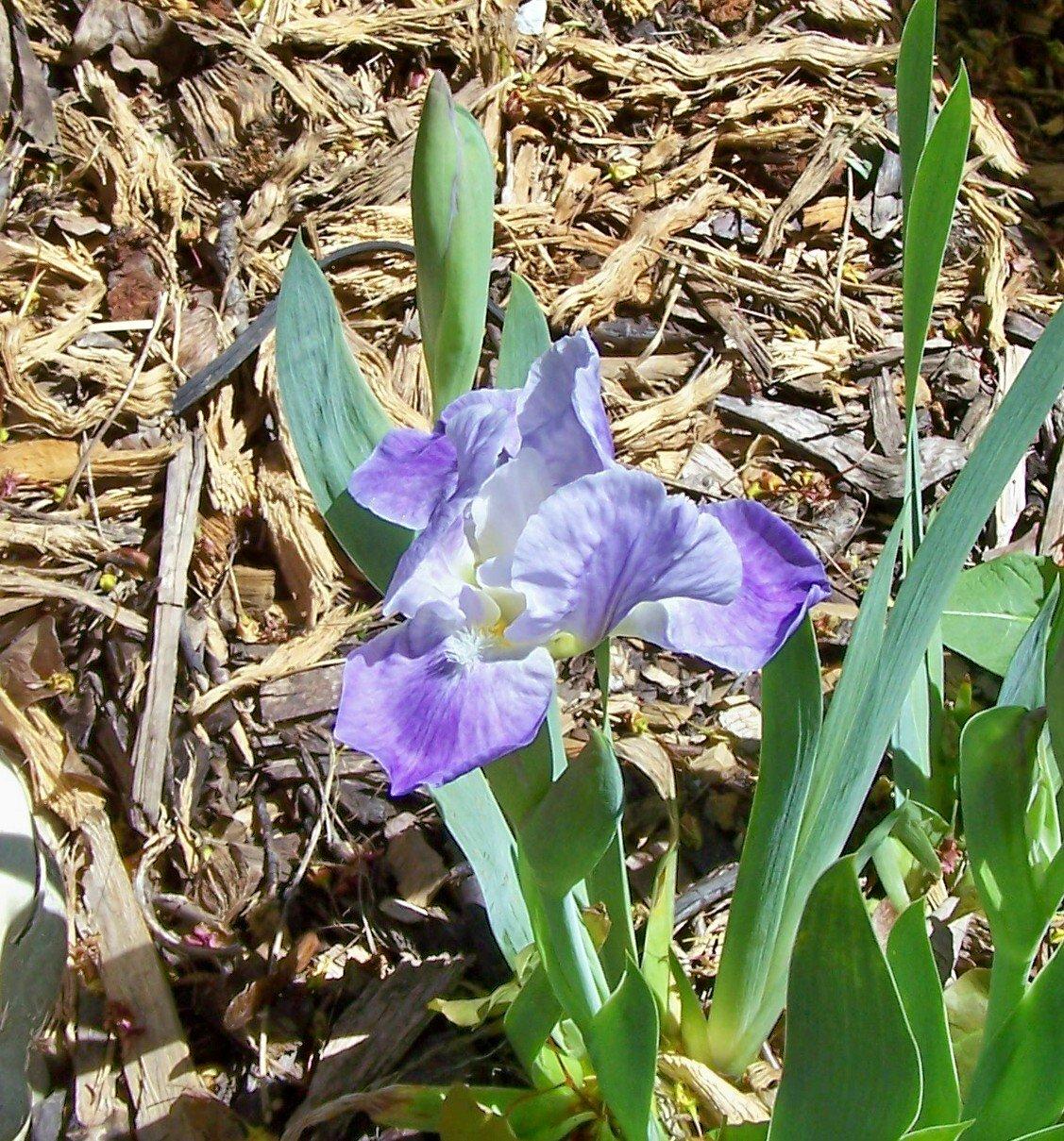 Violet Lulu Dwarf Bearded ( Iris ) - 1 plant division ~gemsandstems.info~