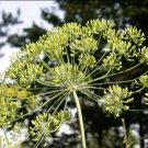 LONG ISLAND MAMMOTH Dill ( Anethum graveolens ) - 15 seeds  ~gemsandstems.info~
