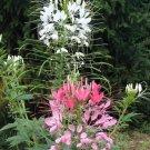 CLEOME Spider Flower ( Cleome hasslerana ) - 30 seeds  ~gemsandstems.info~