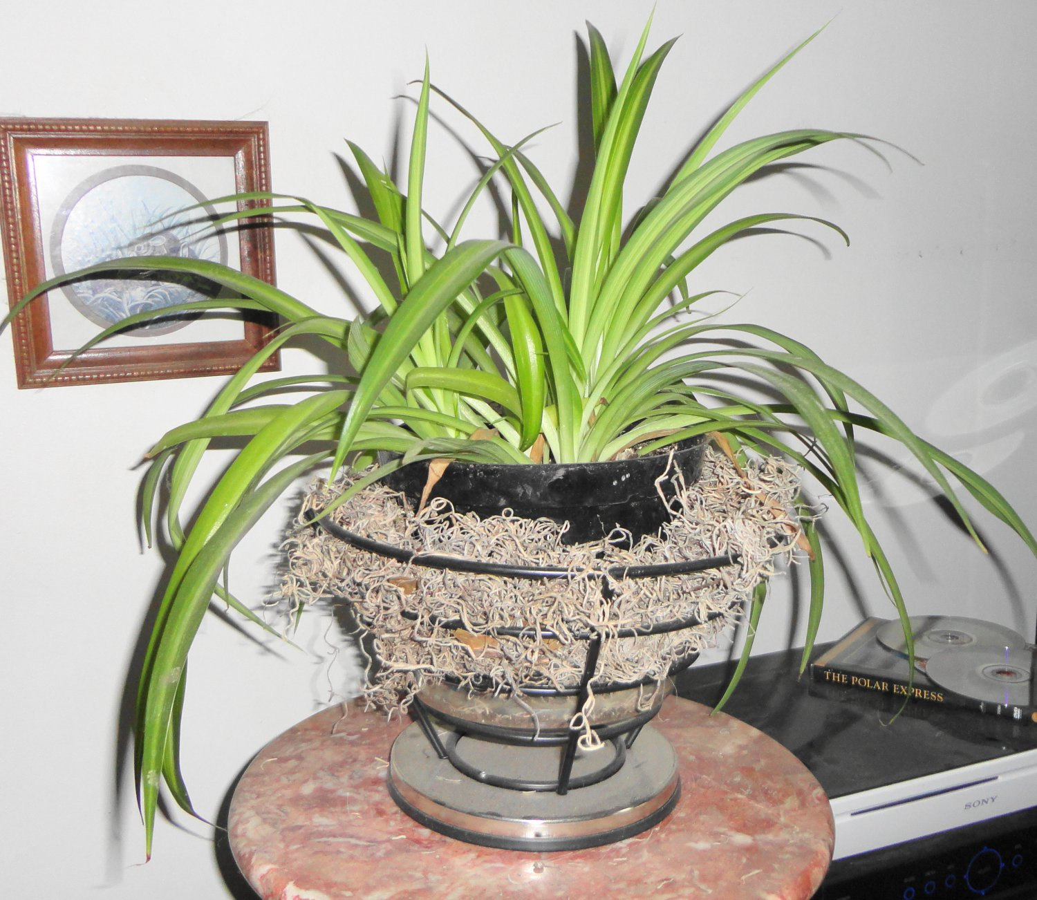 house plant hawaiian spider plant cleans the air rare ebay. Black Bedroom Furniture Sets. Home Design Ideas