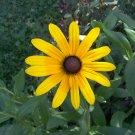 Showy Black Eyed Susan ( Rudbeckia hirta ) - 15 seeds ~gemsandstems.info~